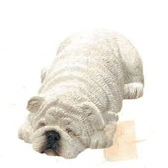 Bulldog white (Bully)
