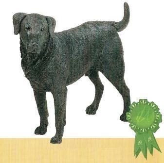 Labrador Black
