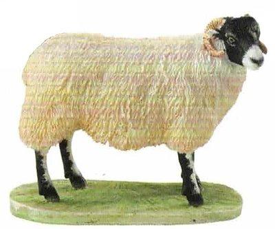Swaledale Ewe