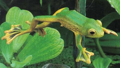 Wallace's flying frog