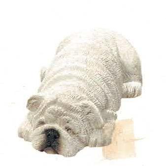 Bulldog white (Bully)