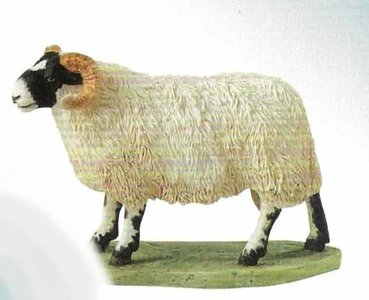 Blackfaced Ewe